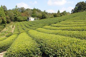 現在奈良の茶園で栽培されるべにほまれ